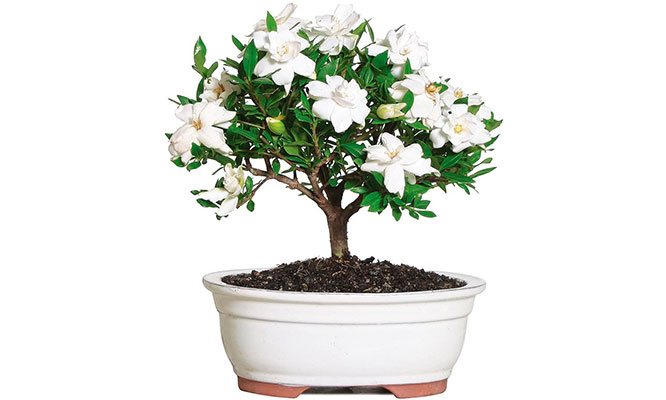 Bonsai de rosas eternas Regala este hermoso detalle