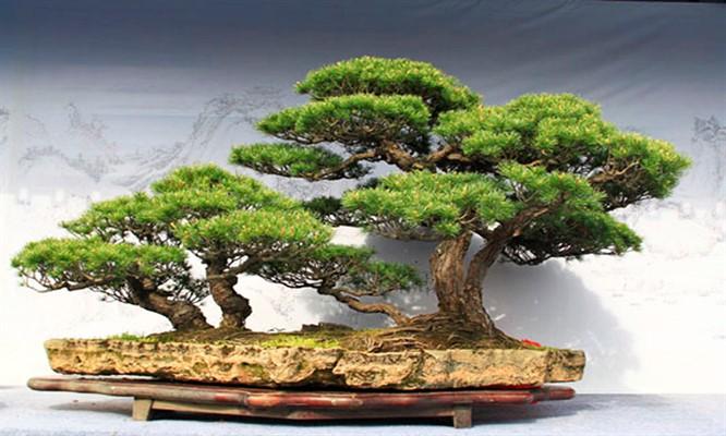 Precioso bonsai de 2 tallos en una maceta 3 modelos a elegir