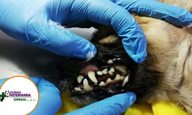 Consulta medica profilaxis dental con ultrasonido para mascotas